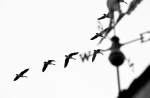 geese flying north over a weather vane