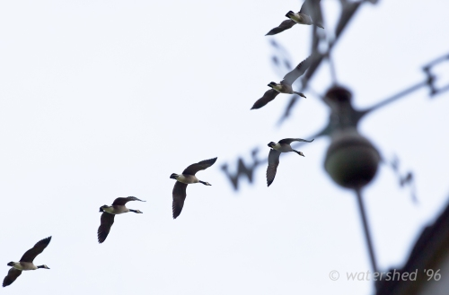 Canada Geese flying north over a windvane
