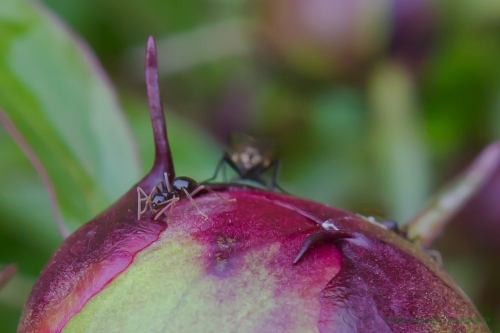 ant working to open a peony